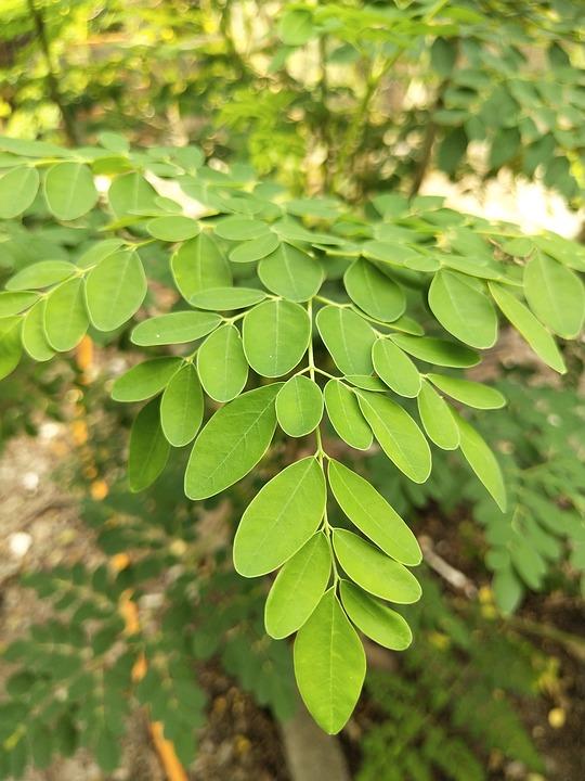 Les faits essentiels à savoir sur le moringa qui seront bénéfiques